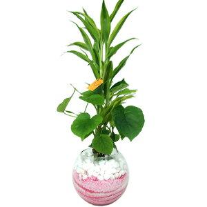 ハイドロカルチャー/バブルボール18おまかせ3種寄せ植え カラーサンド