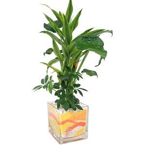 ハイドロカルチャー/キューブグラスLおまかせ3種寄せ植え カラーサンドA