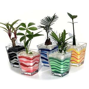 【ハイドロカルチャー 観葉植物】スクエアベースS アクアサンド おまかせ5鉢セット