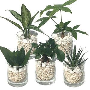【ハイドルカルチャー 観葉植物】サークル80 サンゴ砂 5鉢セット