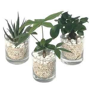 【ハイドルカルチャー 観葉植物】サークル80 サンゴ砂 3鉢セット