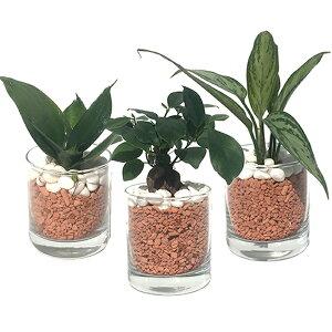【ハイドルカルチャー 観葉植物】サークル80 茶瓦チップ 3鉢セット