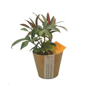 ハイドロカルチャーWOODポット(ミディアム) ひのきの苗床2種寄せ植え カポック・クロトン