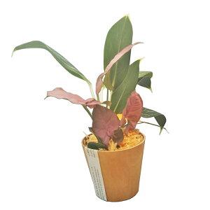 ハイドロカルチャーWOODポット(ラージ) ひのきの苗床2種寄せ植え アグラオネマ・ピンキー