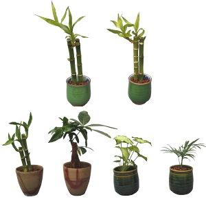 ハイドロカルチャー 観葉植物 和風湯呑鉢 2鉢セット