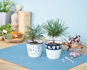 リラックマ 黒松盆栽栽培セット 2種×各18点 計36点 アソートセット
