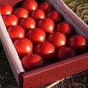生産者はたった4人!稀少な「ロッソトマト(フルーツトマト)0.8kg前後」【JAひまわり】