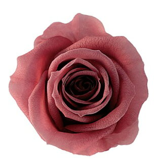PV 863 ベベ 20 mauve pink