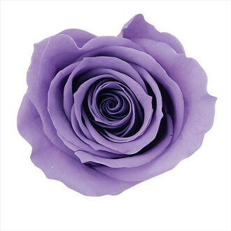 Rose Mimi nine lavender