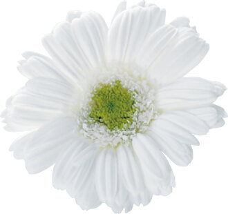 Barberton daisy white (entering nine)