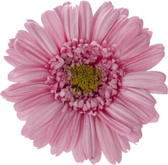 Barberton daisy Princess pin (entering nine)