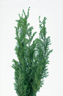 ◎◎Soft Chamaecyparis pisifera cedar Forest green (entering approximately 150 g)