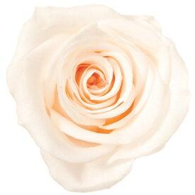 ローズ いずみ約3.5〜4.5cmφ ホワイトシャンパン (9輪入り) 【プリザーブドフラワー】【プリザーブドローズ】【花資材】【花材】【Preserving】【大地農園】