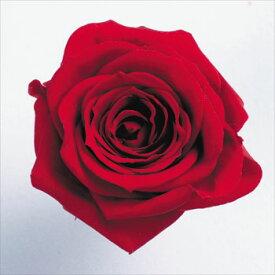 ローズ いずみ約3.5〜4.5cmφ レッド (9輪入り) 【プリザーブドフラワー】【プリザーブドローズ】【花資材】【花材】【Preserving】【大地農園】
