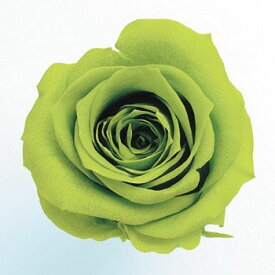 ローズ いずみ約3.5〜4.5cmφ ライトグリーン (9輪入り) 【プリザーブドフラワー】【プリザーブドローズ】【花資材】【花材】【Preserving】【大地農園】