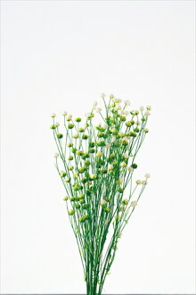 ◎◎ Phosphorus flower white / green (approximately 20 g)