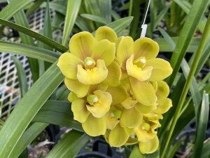 しんびすとのテーブルシンビ春咲きの古典人気品種Cymbidium Sunshine Falls 'Butterball'4号1作開花予定苗管理説明書&春の追肥セット