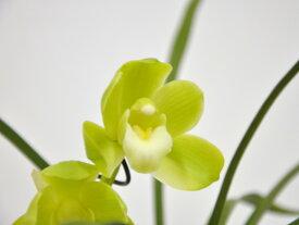 しんびすとの和蘭'春一番'3号一作開花見込み苗和蘭花譜付爽やかな香り