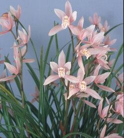 しんびすとの和蘭'雛祭'3号一作開花見込み苗和蘭花譜付