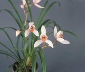 しんびすとの和蘭'丹頂'3号一作開花見込み苗和蘭花譜付