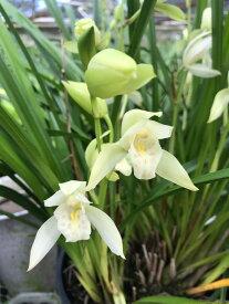 しんびすとの和蘭'秋霞'3号一作開花見込み苗和蘭花譜付芳香有