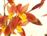 とても珍しい朱赤色に黄色リップの美しい品種です!!