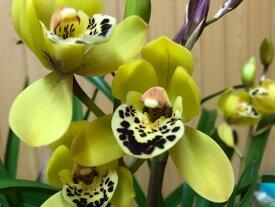 しんびすとの和蘭'小虎'3号一作開花見込み苗和蘭花譜付レモン様の香り