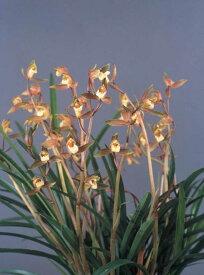 しんびすとの和蘭'五穀豊穣'3号一作開花見込み苗和蘭花譜付芳香有