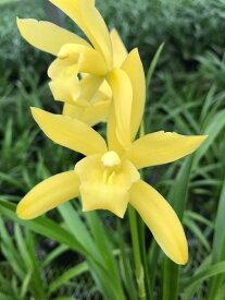 しんびすとの和蘭'神龍爪'3号一作開花見込み苗和蘭花譜付葉にも花にも斑が入る超希少品種!秋春2回咲く可能性あります!方向有