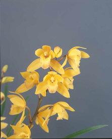しんびすとの和蘭'天の川'3号一作開花見込み苗和蘭花譜付