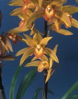 根強いファンが多い和蘭♪燃えるような褐色が美しい品種♪