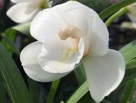 カップ咲き純白花