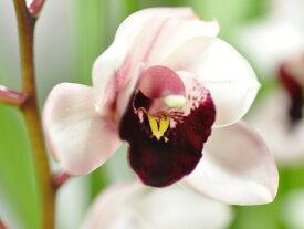 しんびすとのテーブルシンビ'ピノノワール'4号1作開花予定苗管理説明書&春の追肥セット