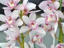 しんびすとのテーブルシンビ森の精'りん'4号1作開花予定苗管理説明書&春の追肥セット