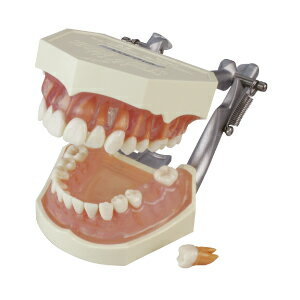 【送料無料】複製歯牙着脱顎模型【i21D-400C】(歯科指導用にも使われる歯型模型です)