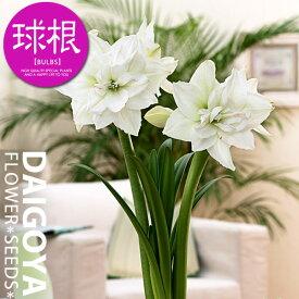 アマリリス 八重咲き 大球 ホワイトニンフ(白)【球根】1球袋詰め