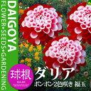ガーデンダリア ポンポン2色咲き 福玉【球根】1球袋詰め