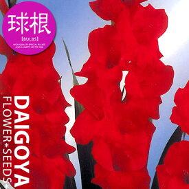 グラジオラス【球根】8球入り袋詰め 単色咲き赤