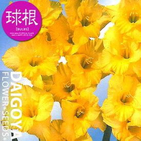 グラジオラス【球根】8球入り袋詰め 単色咲き黄