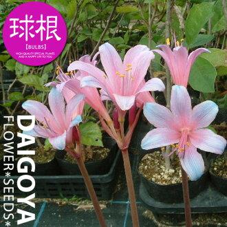 夏天栽种rikorisusupurengeri(紫色)2球_甘草__球根_销售_邮购_