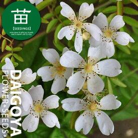 モッコウバラ(木香薔薇) 一重咲き白花 12cmポリポット苗