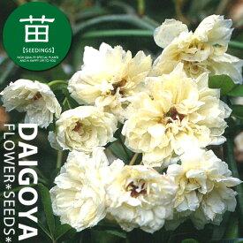 モッコウバラ(木香薔薇) 八重咲き白花 12cmポリポット苗