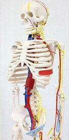 あす楽【送料無料】ガイコツ85血管と心臓付人体模型[JK-3885]