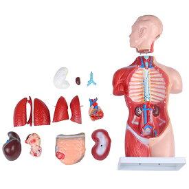 人体模型GX-207お腹と背中が見える内臓模型高さ45cmユニセックスタイプ17パーツ取り外し可[JK-5278]