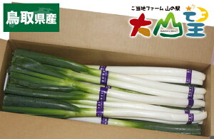 しろねぎ 3kg 白ねぎ ねぎ 鳥取県産 朝どれ 白ネギ 送料無料 国産 鳥取グルメ 鳥取野菜