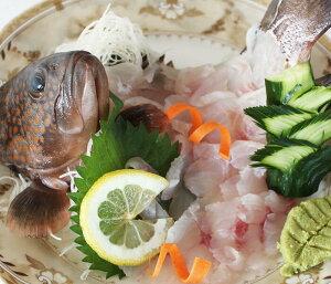 ★送料無料 数量限定 幻の 高級魚 キジハタ 5尾 魚 お魚 さかな 鮮魚 刺身 煮つけ 煮付け 煮付 につけ アコウ アコウダイ あら汁 に お取り寄せグルメ