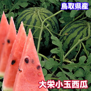 鳥取県産 大栄 小玉西瓜 2.5kg 送料無料 鳥取県 西瓜 大栄 すいか 小玉西瓜 ギフト 父の日