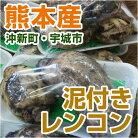 熊本県沖新町・宇城市産泥付きレンコン
