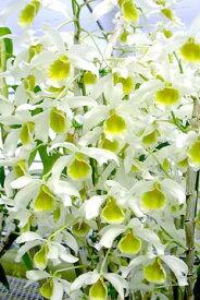 デンドロビューム苗Den.Fuga 'GreenSweet'(signatumxThwaitesiae)フーガ'グリーンスイート'