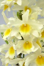 デンドロビューム苗Den. Yellow Song'Lemon Cake'イエローソング'レモンケーキ'